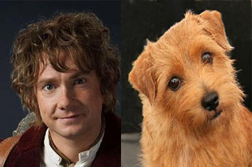 Bilbo Baggins and a Norfolk Terrier